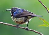 BIRD - SUNBIRD SPECIES - NYUNGWE NATIONAL PARK RWANDA (1).JPG