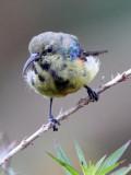 BIRD - SUNBIRD SPECIES - NYUNGWE NATIONAL PARK RWANDA (497).JPG