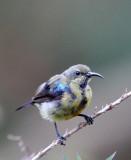 BIRD - SUNBIRD SPECIES - NYUNGWE NATIONAL PARK RWANDA (498).JPG