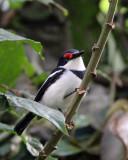 BIRD - WATTLE-EYE - BLACK-THROATED WATTLE-EYE - PLATYSTEIRA PELTATA - NYUNGWE NATIONAL PARK RWANDA (82).JPG