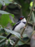 BIRD - WATTLE-EYE - BLACK-THROATED WATTLE-EYE - PLATYSTEIRA PELTATA - NYUNGWE NATIONAL PARK RWANDA (83).JPG