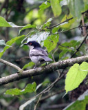 BIRD - WATTLE-EYE - BLACK-THROATED WATTLE-EYE - PLATYSTEIRA PELTATA - NYUNGWE NATIONAL PARK RWANDA (85).JPG