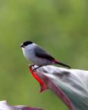BIRD - WAXBILL - BLACK-CROWNED WAXBILL - ESTRILDA NONNULA - RUHENGERI RWANDA 2012 (121).JPG