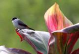 BIRD - WAXBILL - BLACK-CROWNED WAXBILL - ESTRILDA NONNULA - RUHENGERI RWANDA 2012 (122).JPG
