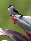 BIRD - WAXBILL - BLACK-CROWNED WAXBILL - ESTRILDA NONNULA - RUHENGERI RWANDA 2012 (123).JPG