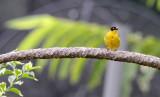 BIRD - WEAVER - BAGLAFECHT WEAVER - PLOCEUS BAGLAFECHT - RUHENGERI RWANDA (2).JPG