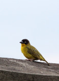 BIRD - WEAVER - BAGLAFECHT WEAVER - PLOCEUS BAGLAFECHT - RUHENGERI RWANDA (4).JPG