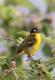 BIRD - WEAVER - BAGLAFECHT WEAVER - PLOCEUS BAGLAFECHT - RUHENGERI RWANDA (5).JPG