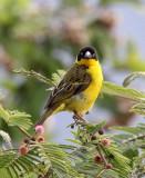 BIRD - WEAVER - BAGLAFECHT WEAVER - PLOCEUS BAGLAFECHT - RUHENGERI RWANDA (6).JPG