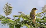 BIRD - WEAVER - BAGLAFECHT WEAVER - RUHENGERI RWANDA (1).JPG