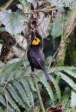 BIRD - WEAVER - BLACK-HEADED WEAVER - PLOCEUS MELANGOGASTER - NYUNGWE NATIONAL PARK RWANDA (94).JPG