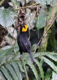 BIRD - WEAVER - BLACK-HEADED WEAVER - PLOCEUS MELANGOGASTER - NYUNGWE NATIONAL PARK RWANDA (95).JPG