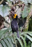 BIRD - WEAVER - BLACK-HEADED WEAVER - PLOCEUS MELANGOGASTER - NYUNGWE NATIONAL PARK RWANDA (97).JPG