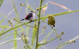 BIRD - WHITE-EYE - YELLOW WHITE-EYE - ZOSTEROPS SENEGALENSIS - RUHENGERI RWANDA (1).JPG
