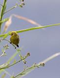 BIRD - WHITE-EYE - YELLOW WHITE-EYE - ZOSTEROPS SENEGALENSIS - RUHENGERI RWANDA (2).JPG