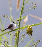 BIRD - WHITE-EYE - YELLOW WHITE-EYE - ZOSTEROPS SENEGALENSIS - RUHENGERI RWANDA (4).JPG