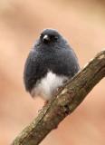 BIRD - BUNTING - SLATY BUNTING - HUANGSHAN NATIONAL PARK - ANHUI PROVINCE CHINA (10).JPG