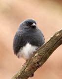 BIRD - BUNTING - SLATY BUNTING - HUANGSHAN NATIONAL PARK - ANHUI PROVINCE CHINA (12).JPG
