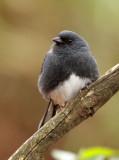 BIRD - BUNTING - SLATY BUNTING - HUANGSHAN NATIONAL PARK - ANHUI PROVINCE CHINA (13).JPG