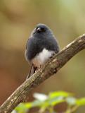 BIRD - BUNTING - SLATY BUNTING - HUANGSHAN NATIONAL PARK - ANHUI PROVINCE CHINA (15).JPG