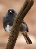 BIRD - BUNTING - SLATY BUNTING - HUANGSHAN NATIONAL PARK - ANHUI PROVINCE CHINA (6).JPG
