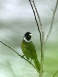 BIRD - COLLARED FINCHBILL - GUNIUJIANG NATURE RESERVE -  ANHUI PROVINCE CHINA (1).JPG