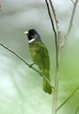 BIRD - COLLARED FINCHBILL - GUNIUJIANG NATURE RESERVE -  ANHUI PROVINCE CHINA (3).JPG