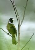 BIRD - COLLARED FINCHBILL - HUANGSHAN NATIONAL PARK - ANHUI PROVINCE CHINA (2).JPG