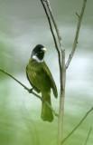 BIRD - COLLARED FINCHBILL - HUANGSHAN NATIONAL PARK - ANHUI PROVINCE CHINA (4).JPG