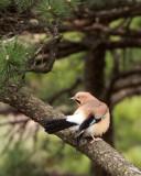 BIRD - JAY - EURASIAN JAY - HUANGSHAN NATIONAL PARK - ANHUI PROVINCE CHINA (1).JPG