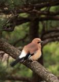 BIRD - JAY - EURASIAN JAY - HUANGSHAN NATIONAL PARK - ANHUI PROVINCE CHINA (3).JPG