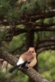 BIRD - JAY - EURASIAN JAY - HUANGSHAN NATIONAL PARK - ANHUI PROVINCE CHINA (4).JPG