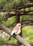 BIRD - JAY - EURASIAN JAY - HUANGSHAN NATIONAL PARK ANHUI PROVINCE CHINA (4).JPG