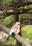 BIRD - JAY - EURASIAN JAY - HUANGSHAN NATIONAL PARK ANHUI PROVINCE CHINA (6).JPG