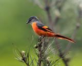 BIRD - MINIVET - GREY-CHINNED MINIVET - GUNIUJIANG NATURE RESERVE -  ANHUI PROVINCE CHINA (14).JPG