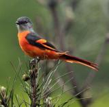 BIRD - MINIVET - GREY-CHINNED MINIVET - GUNIUJIANG NATURE RESERVE -  ANHUI PROVINCE CHINA (16).JPG