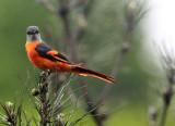 BIRD - MINIVET - GREY-CHINNED MINIVET - GUNIUJIANG NATURE RESERVE -  ANHUI PROVINCE CHINA (18).JPG
