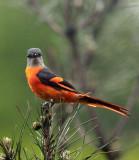 BIRD - MINIVET - GREY-CHINNED MINIVET - GUNIUJIANG NATURE RESERVE -  ANHUI PROVINCE CHINA (19).JPG