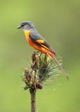 BIRD - MINIVET - GREY-CHINNED MINIVET - GUNIUJIANG NATURE RESERVE -  ANHUI PROVINCE CHINA (22).JPG