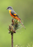 BIRD - MINIVET - GREY-CHINNED MINIVET - GUNIUJIANG NATURE RESERVE -  ANHUI PROVINCE CHINA (23).JPG