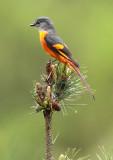 BIRD - MINIVET - GREY-CHINNED MINIVET - GUNIUJIANG NATURE RESERVE -  ANHUI PROVINCE CHINA (27).JPG
