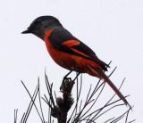 BIRD - MINIVET - GREY-CHINNED MINIVET - GUNIUJIANG NATURE RESERVE -  ANHUI PROVINCE CHINA (4).JPG