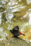 BIRD - REDSTART - PLUMBEOUS WATER REDSTART - GUNIUJIANG NATURE RESERVE -  ANHUI PROVINCE CHINA (4).JPG
