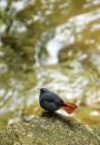 BIRD - REDSTART - PLUMBEOUS WATER REDSTART - GUNIUJIANG NATURE RESERVE -  ANHUI PROVINCE CHINA (7).JPG