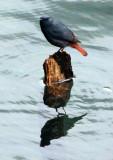 BIRD - REDSTART - PLUMBEOUS WATER REDSTART - HUANGSHAN NATIONAL PARK ANHUI PROVINCE CHINA (10).JPG