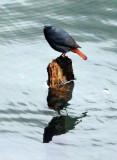 BIRD - REDSTART - PLUMBEOUS WATER REDSTART - HUANGSHAN NATIONAL PARK ANHUI PROVINCE CHINA (11).JPG