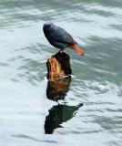 BIRD - REDSTART - PLUMBEOUS WATER REDSTART - HUANGSHAN NATIONAL PARK ANHUI PROVINCE CHINA (12).JPG