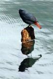 BIRD - REDSTART - PLUMBEOUS WATER REDSTART - HUANGSHAN NATIONAL PARK ANHUI PROVINCE CHINA (13).JPG