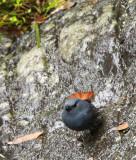 BIRD - REDSTART - PLUMBEOUS WATER REDSTART - HUANGSHAN NATIONAL PARK ANHUI PROVINCE CHINA (5).JPG