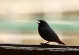 BIRD - REDSTART - PLUMBEOUS WATER REDSTART - MONKEY VALLEY - FUXI VILLAGE NEAR HUANGSHAN CHINA (1).JPG